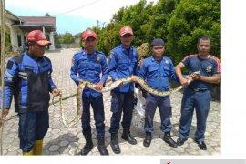 Warga Babel diminta waspadai ular paling mematikan