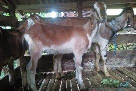 Distan Mukomuko salurkan puluhan kambing untuk petani