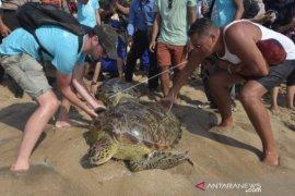 BKSDA Bali lepasliarkan enam ekor Penyu Hijau di Pantai Kuta