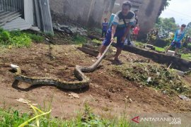 Pengamat: Kobra tidak boleh dibunuh karena kendalikan populasi tikus