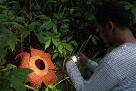 Delapan bunga Rafflesia di Kabupaten Agam akan mekar dalam sebulan ke depan