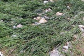 Sebagian tanaman padi di Mukomuko gagal panen