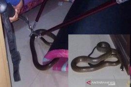 Ular kobra panjang 1,5 meter masuk ke kamar tidur warga
