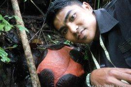 Rafflesia terbesar di dunia bakal mekar di Agam