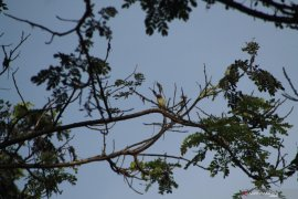 20 spesies burung hidup di kompleks Kampus Unej