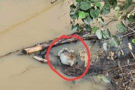 Warga temukan bangkai babi dihanyutkan didekat jembatan Sungai Wampu Langkat
