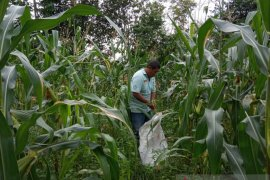 Permintaan jagung jelang malam pergantian tahun meningkat