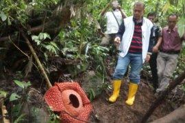 Rafflesia Tuan-mudae menarik perhatian media di 32 Negara