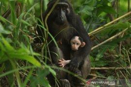 Bayi kera hitam Sulawesi