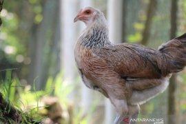 IPB-Lestari Farm kembangkan invensi varietas ayam IPB D-1