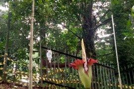 Bunga bangkai di Kebun Raya Bogor sedang mekar sempurna
