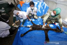 Barang Bukti Kulit Harimau Sumatra