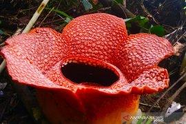 Lima Rafflesia arnoldii mekar di Muara Sahung Bengkulu