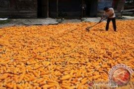 Pemerintah Aceh minta petani galakkan tanam jagung