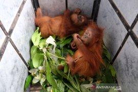 Petugas gabungan sita dua bayi orangutan, BBTNGL: Pelaku masih dalam pengejaran