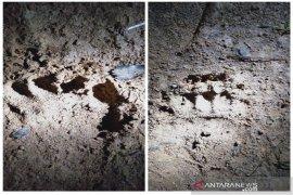 Warga Desa Malombu Tapsel resah karena ternak mereka diteror beruang
