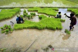 Aceh percepat pengadaan benih padi tahun 2020