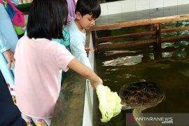 Penangkaran penyu hijau di Sukabumi jadi obyek wisata edukasi