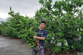 Bibit jambu madu Green Honey tembus pasar dengan manfaatkan medsos