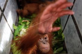 Perdagangan bayi orangutan