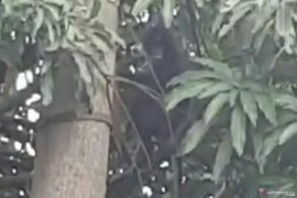 Tiga ekor monyet langka berkeliaran di Cianjur