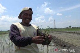 Tikus serang 100 hektare lahan padi di Madiun