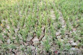Ratusan hektare sawah terancam gagal panen di Aceh Timur