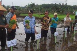 Pemkab Bangka Tengah dorong petani budidayakan tanaman padi sawah organik