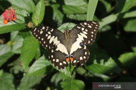 15 jenis kupu-kupu ditemukan saat observasi di Agrotechnopark Unej