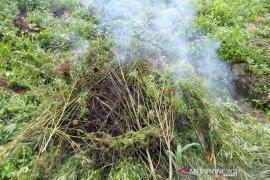 Tim gabungan kembali musnahkan lima hektar lahan ganja di Madina
