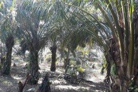 Mayoritas kelompok tani Mukomuko cairkan dana untuk tumbangkan sawit