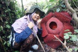 Dua bunga Rafflesia mekar di kawasan hutan Danau Maninjau