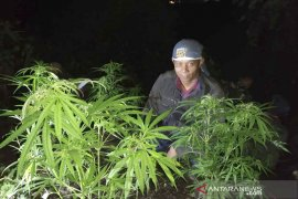 BKSDA Garut sterilisasi hutan Gunung Guntur dari tanaman ganja