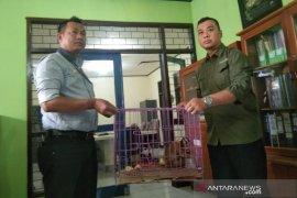 Warga Garut serahkan dua ekor kukang ke BKSDA untuk direhabilitasi