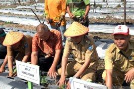 Kelompok tani Bangka Tengah membudidayakan 50.000 batang cabai