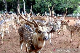 Siulan jadi jurus jitu memanggil rusa di  Taman Rusa Monas