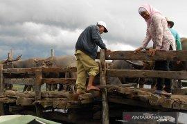 Populasi kerbau rawa Danau Panggang menurun