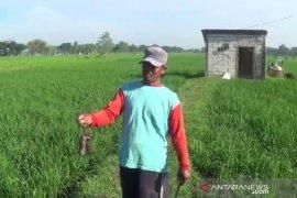 Hama tikus serang ratusan hektare lahan padi di Magetan