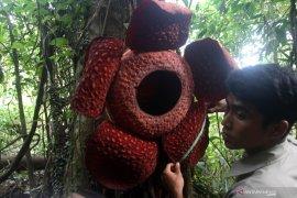 Turis luar negeri terpikat kunjungi Bunga Rafflesia yang mekar di pohon