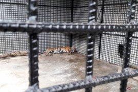 Kondisi harimau sumatera di TWNC Page 1 Small