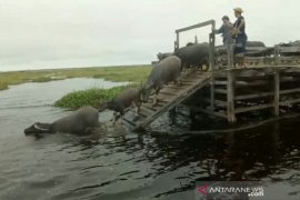 Hitching a boat ride to enjoy sights of buffaloes swimming
