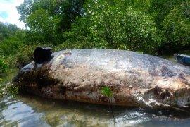 Seekor paus berukuran besar terdampar di Rote