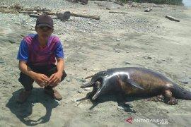 Seekor lumba-lumba mati ditemukan di Pantai Pasar Talo