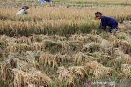 Target produksi padi 2020