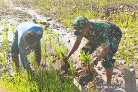 Kodim 0414 Kabupaten Belitung bantu petani menanam padi