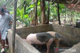 Tiga  babi peternak Jembrana mati mendadak