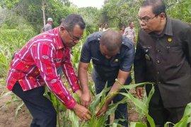 """Flores Timur berstatus KLB hama ulat """"grayak"""""""