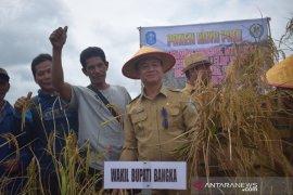 Wabup Bangka hadiri panen raya padi