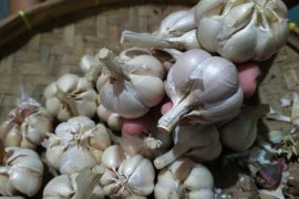 Pakar UGM: Virus corona peluang wujudkan mandiri bawang putih