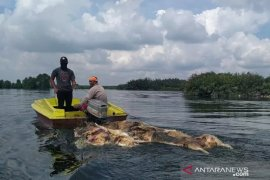 Sudah 48.000 babi mati di Sumut akibat hog cholera dan ASF